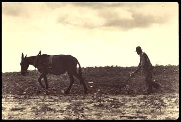 Mule working in field